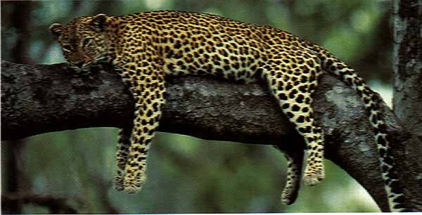Leopard resting on a tree: Kenya Safari wildlife lodge tours and holiday Kenya Tanzania